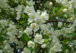 Яблоня колония в Кролевец
